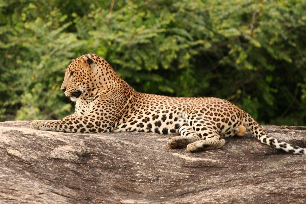 Leopard-Park-Yala